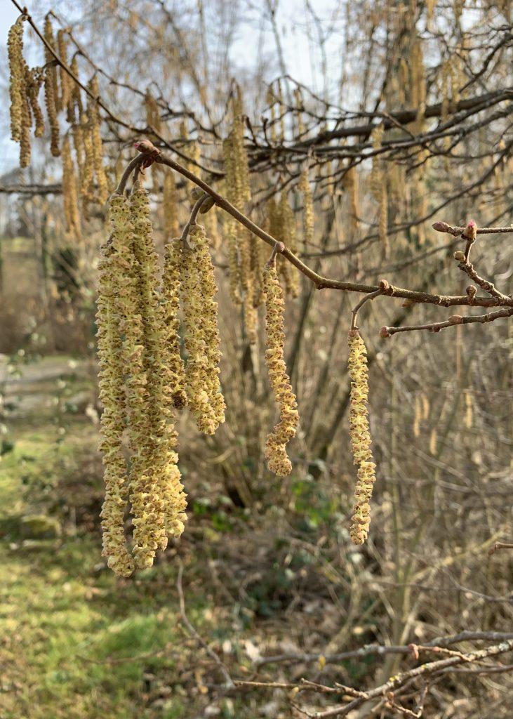 Blüten des Haselstrauchs