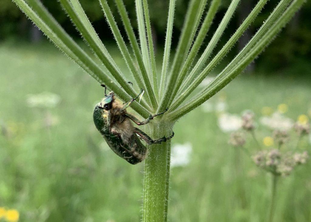Käfer an Pflanze